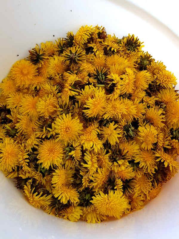 Für den Löwenzahnsirup brauchst Du ausreichend viele gelbe Löwenzahnblüten.