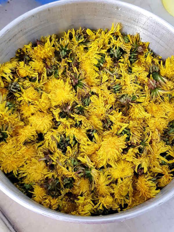 Nimm gewaschene Löwenzahnblüten für deinen Löwenzahnsirup.